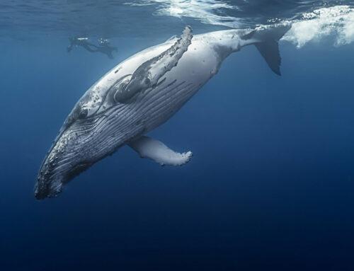 Stille Nacht für Wale