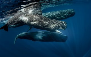 Biggest predators in the world in blue ocean. Pod of sperm whales swimming off the coast of Sao Miguel Azores