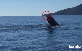 Finnwal, dem die Schwanzflosse fehlt