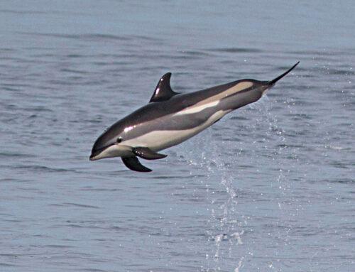 Rotes Meer im Atlantik: 1500 Delphine auf Färöern getötet